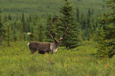 Caribou Bull in Velvet 版權商用圖片 - 5892453