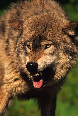 Aggressive Gray Wolf