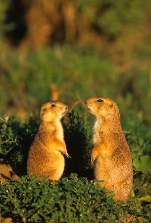 Prairie Dogs Discussing Matters Reklamní fotografie - 5901549