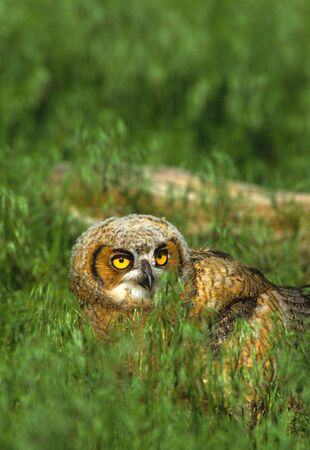Young Great Horned Owl in Grass photo