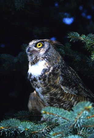Great Horned Owl in Spruce Tree