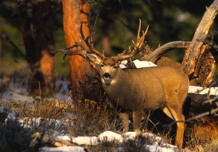 mule deer: Nice Mule Deer Buck Stock Photo