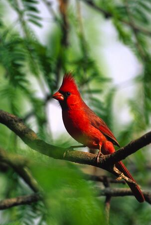 Male Northern Cardinal photo