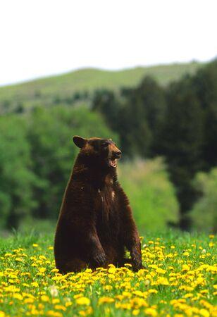 black bear: Orso nero in Dandelions Archivio Fotografico