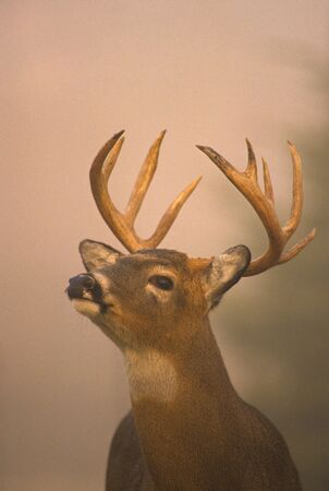 whitetail buck: Rutting Whitetail Buck in Fog