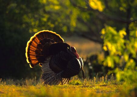 strut: Strutting Wild Turkey, Backlit Stock Photo