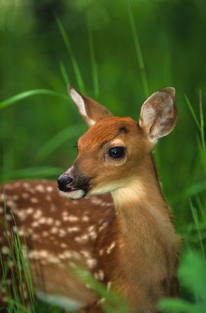 fawn: Whitetail Fawn