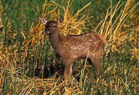 Cute elk Calf