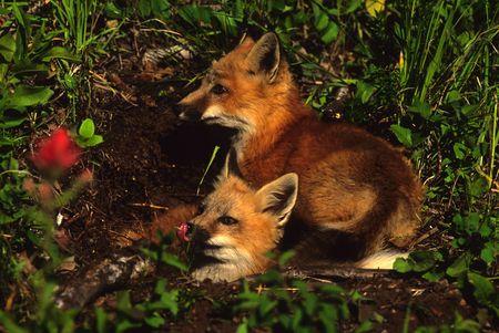 den: Red Fox Pups at Den