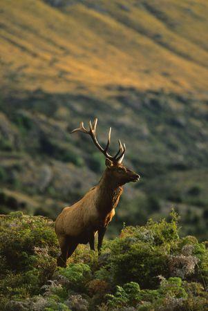 wapiti: Roosevelt Elk Bull