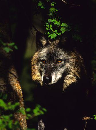 Peering Gray Wolf