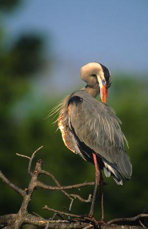 preening: Preening Great Blue Heron