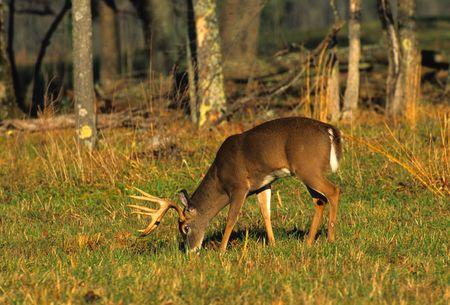 Big Whitetail Buck Feeding Stock Photo - 6111194
