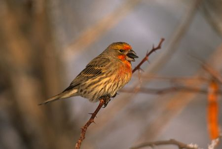 House Finch Imagens