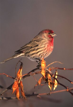 House Finch on Locust