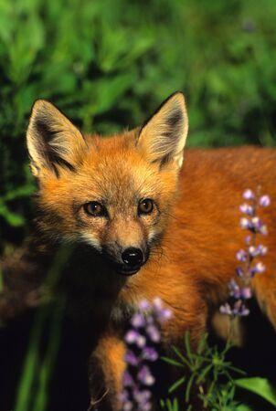 Red Fox Pup in Wildflowers
