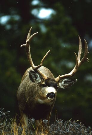 an ungulate: Buck mule Deer infiltrazione Archivio Fotografico