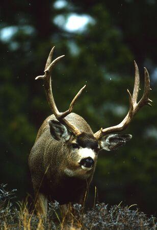 ungulate: Mule Deer Buck Sneaking