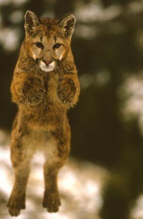Flying Mountain Lion Stock Photo - 6137163