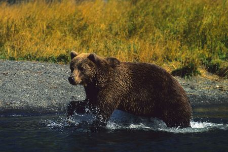 omnivore: Brown Bear Fishing Stock Photo