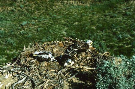 ferruginous: Ferruginous Hawk Nest with Chicks