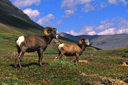 bighorn sheep: Bighorn Sheep Rams