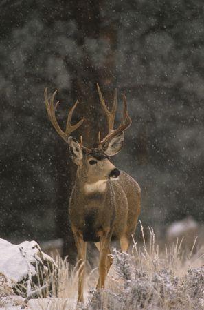 Mule Deer Buck in Snowstorm Banco de Imagens