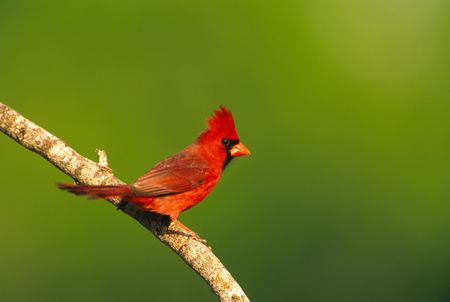 Male Northern Cardinal Imagens