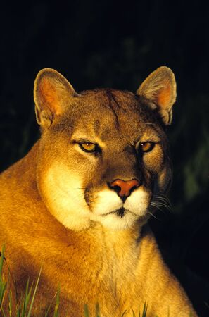 cougar: Mountain Lion Portrait