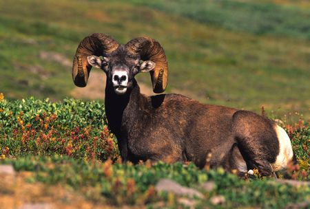 bighorn sheep: Bighorn Sheep Ram Bedded Stock Photo