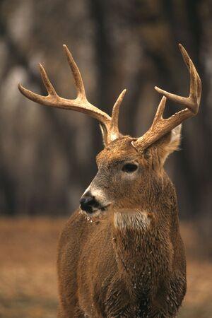 venado cola blanca: Heladas de gris Buck