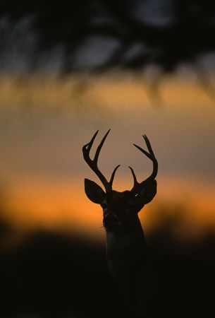 deer hunting: Whitetail Buck in Sunset Stock Photo