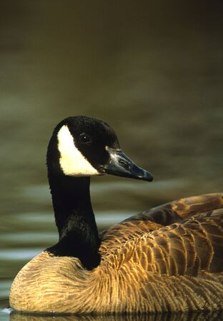 canada goose: Canada Goose Portrait Stock Photo