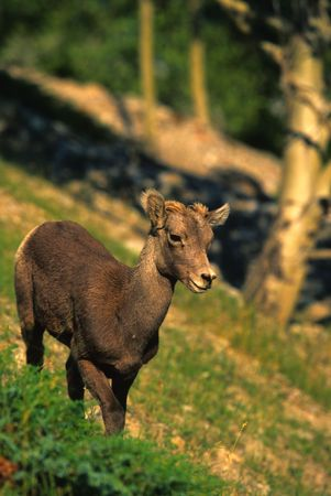 bighorn sheep: Agnello di pecore bighorn