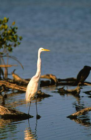 wading: Wading Egret