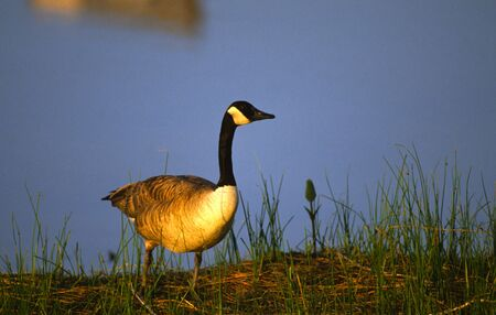 canada goose: Canada goose Stock Photo