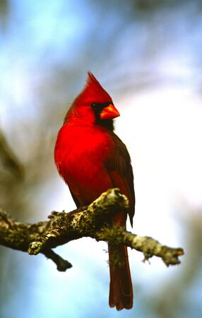 cardinal bird: Male northern Cardinal