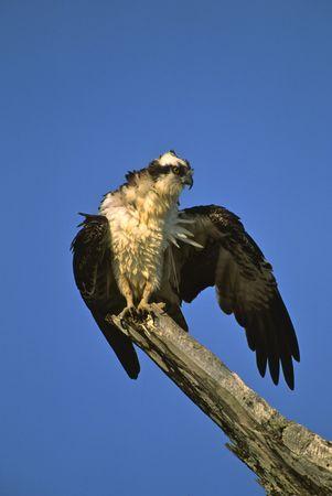 Osprey on Limb