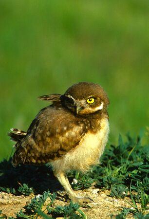 burrowing: Baby Burrowing Owl Stock Photo
