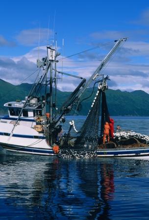 pescador: Tirando en una carga de salmón en Alaska Foto de archivo