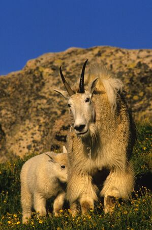 cabra montes: Nanny de cabra de monta�a con Kid
