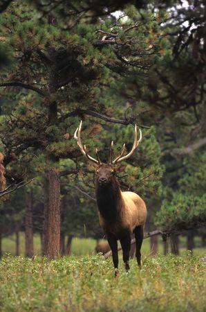 Bull Elk on Edge of Timber Stock Photo - 6323751