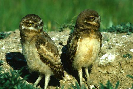 burrowing: Twin Baby Burrowing Owls Stock Photo