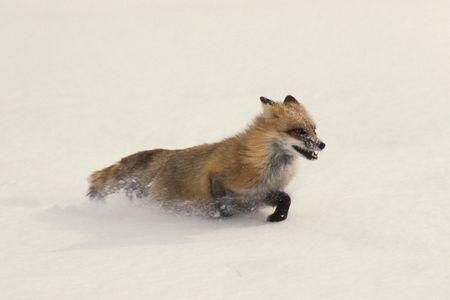 animal winter: Red Fox Running in Snow