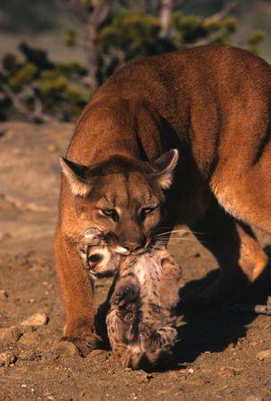 Female Lion Carrying Kitten photo
