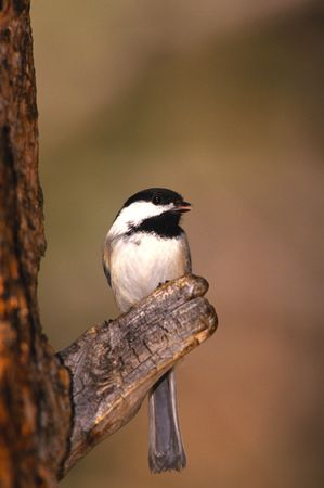 capped: Black Capped Chickadee on Branch Stock Photo