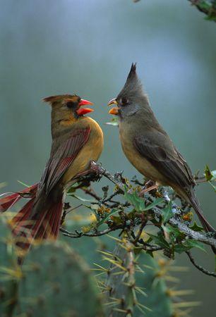 Cardinal and Pyrrhuloxia Disputing a Perch Stock fotó