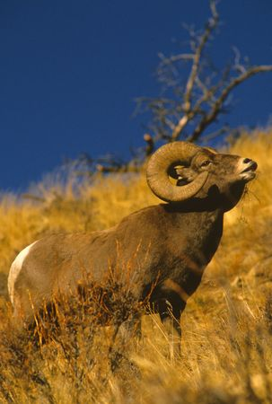 rut: Bighorn Ram in Rut Stock Photo
