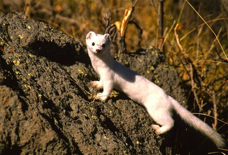 Weasel(Ermine) in Winter Fur Stock Photo