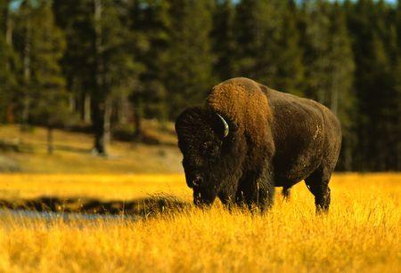 an ungulate: Grande Toro Bison Archivio Fotografico